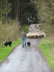 Schäfer Timm Freymann auf dem Zug mit Hunden und Schafen