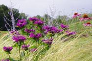violette Indianernessel wogt in einem Meer aus Gräsern