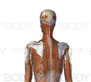 zygote body 3D
