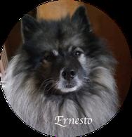 Deckrüde Wolfsspitz Ernesto von der Roemerroute
