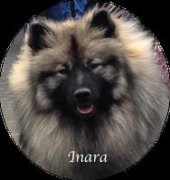 Wolfsspitz Hündin Inara von der Roemerroute