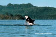 Orca - copyright: Vancouver Tourism