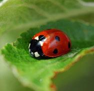 Marienkäfer auf grünem Blatt