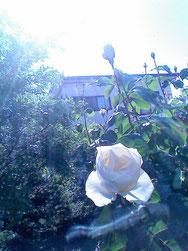 母の庭にあったバラ
