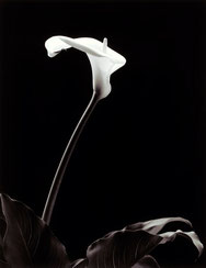 Single white Arum lily on a stem with leaves, silver gelatine print, white on a toned black
