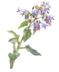 Bourrache Borrago officinalis - Botanicalart © by S.Pui Mun Law