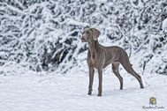 Weimaranerhündin im Schnee stehend