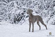 Weimaraner im Schnee stehend