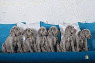 Sechs Weimaraner Welpen auf Sofa sitzend
