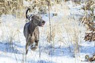 Weimaraner im Schnee laufend