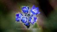 Blütenfarbe blau, lila, violett