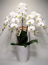 大分市 花屋いちはな 胡蝶蘭5本立ち