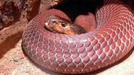 Cobra sputatore rosso