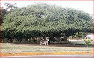 Prosopis juliflora (Cují)