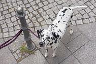 Berliner Stadthunde, Hundeschule, Hundetagesstätte, HuTa, Hundetrainer, Simone Laube, fotografie Anke Peters, Leinenführigkeit