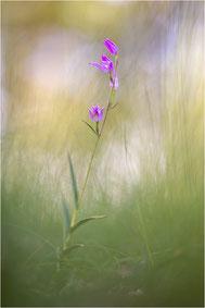 Cephalanthera