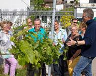 Am Weinberg direkt am Weinstock werden Ihnen die Arbeitsschritte erklärt, um die Weinrebe so zu pflegen, dass sehr gute Qualitäten geerntet werden können. Viele Infos bei der Weinprobe an der Ahr.