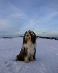 Welsie Bearded Collie