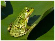 Amphibien, Insekten
