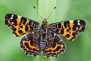 Schmetterlinge Falter