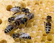 Bienen an Honigwabe