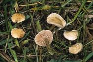Verwechslungsart Agrocybe pusiola