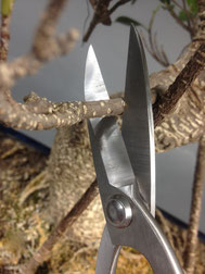 Rückschnitt an einem Chin. Feigenbaum / Ficus microcarpa ( Breite Bonsaischere )