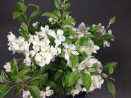 Blüten eines Zierapfel im Frühjahr