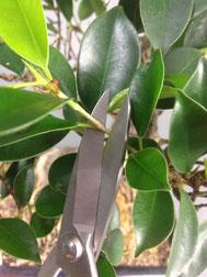 Rückschnitt an einem Chin. Feigenbaum / Ficus microcarpa ( Schmale Bonsaischere )