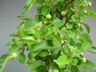 Äpfel entwickeln sich über den Sommer
