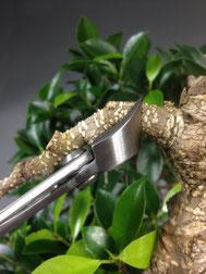 Rückschnitt an einem Chin. Feigenbaum / Ficus microcarpa ( Konkavzange )