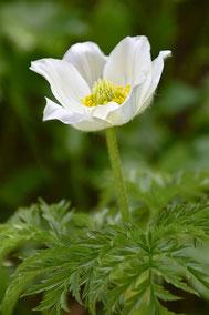 fleur de montagne - appartement anémone