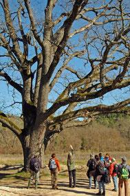 chêne pubescent d'environ 400 ans
