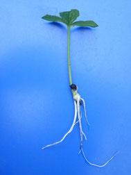 発芽後の根を含む全体の画像