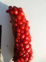 マイヅルテンナンショウの赤熟した実の画像