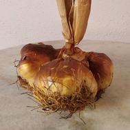 Knoblauch; geräuchert; Frankreich; Arleux