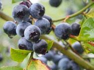 大粒で完熟の生ブルーベリーを朝摘みで