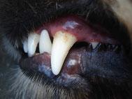 Hundezähne