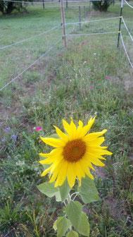 Wenige Blümchen und eine schöne Sonnenblume 🌻