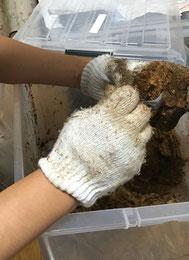 オオクワガタの幼虫割り出し。