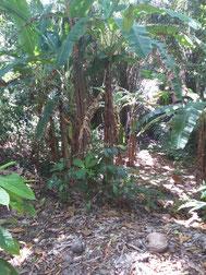 bananeiras no terreno