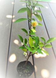 お茶の苗木