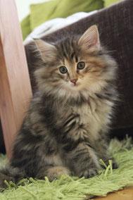 Norwegische Waldkatze Kitten Ceridwen von Halterbach