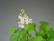 Blüte und kräftiger Blattaustrieb im Mai. Ein erneuter Rückschnitt erfolgt nach der Blüte.