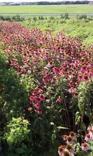 エキナセア効能効果 ウイルス対策 インフルエンザ対策 ハーブティー 通販 オーガニックハーブティー 無農薬ハーブティー  ハーブ農家のハーブティー 国産ハーブティー 免疫力