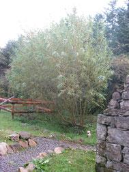 ロウ家の庭にある柳、こちらはウィローといいます。