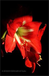 Amaryllisblüte Avanti