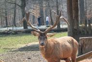 Ein Hirsch im Tierpark