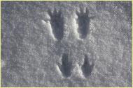 trace d'écureuil