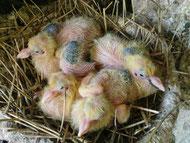 4 Pigeonneaux de trois jours